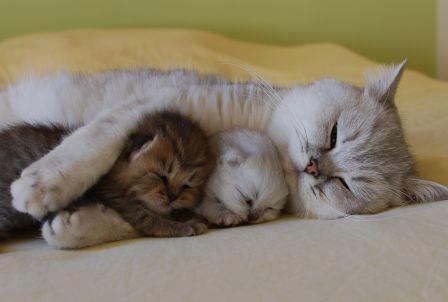 Kitties-asleep-in-Mommy-Cats-Arms